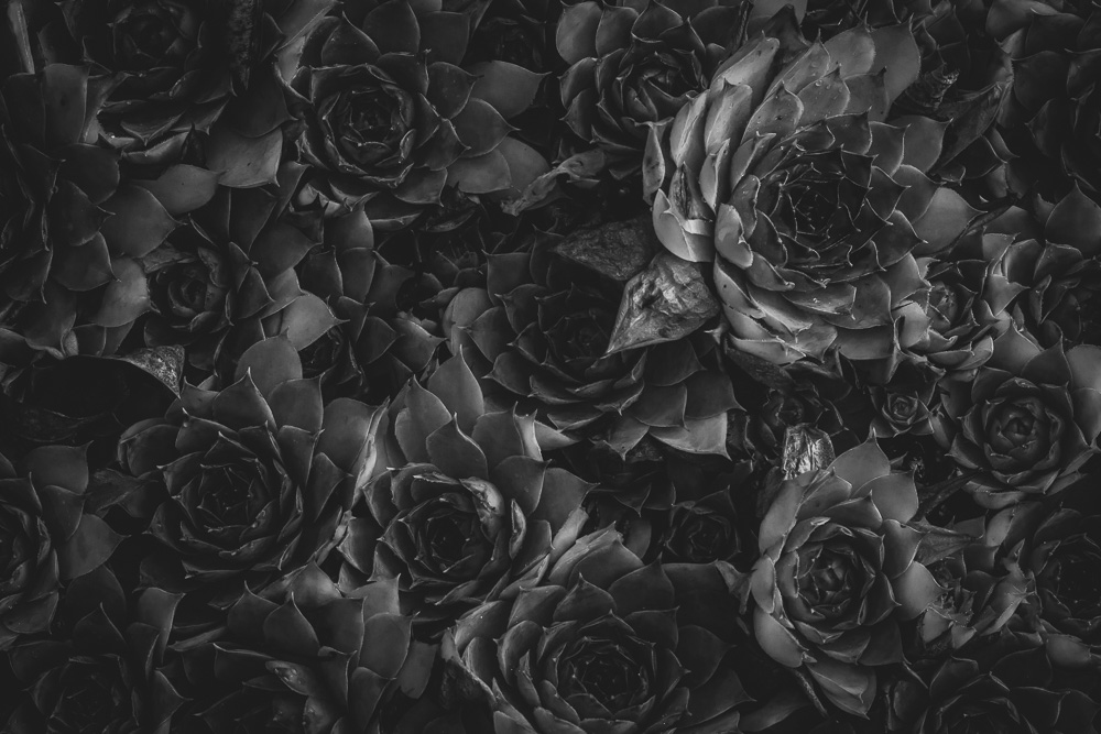 Succulents by Captured By Katie Photography, Tacoma Photographer