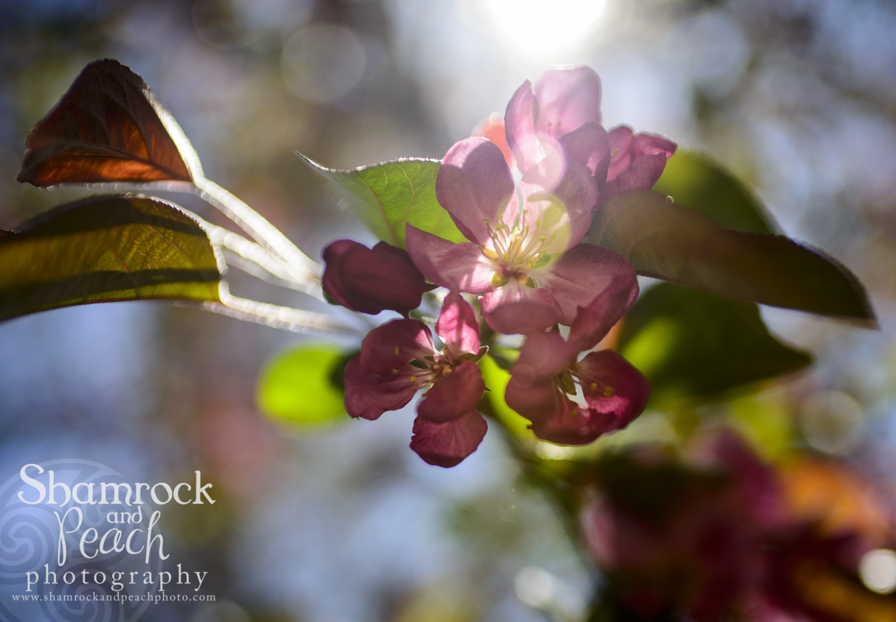 Spring time sunshine on my apple blossom...