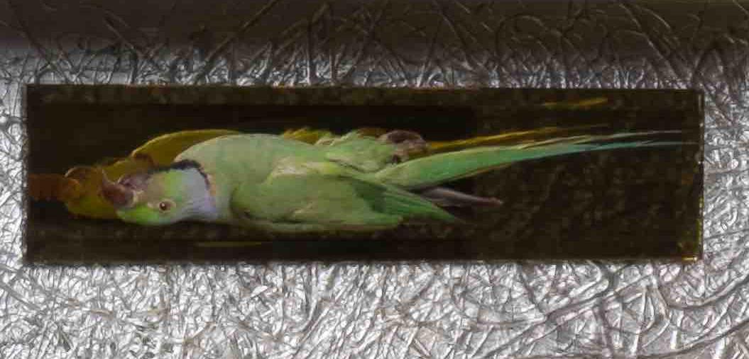 The Kingdom of Heaven parrot.jpg