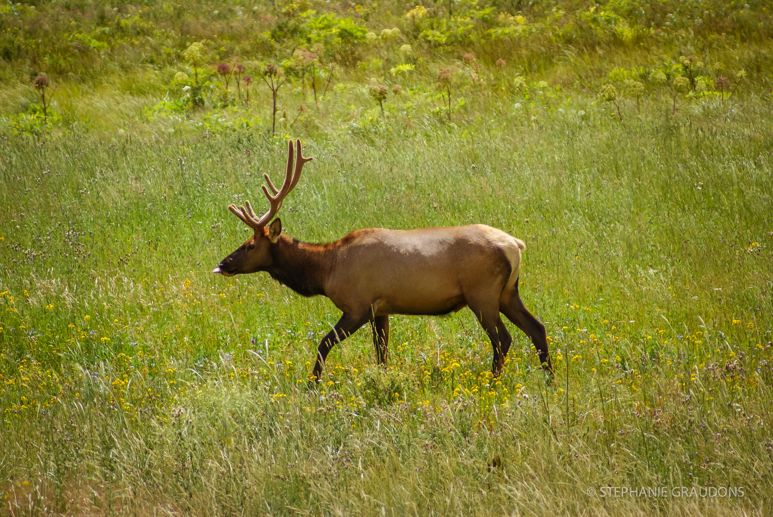 Elk at Moraine