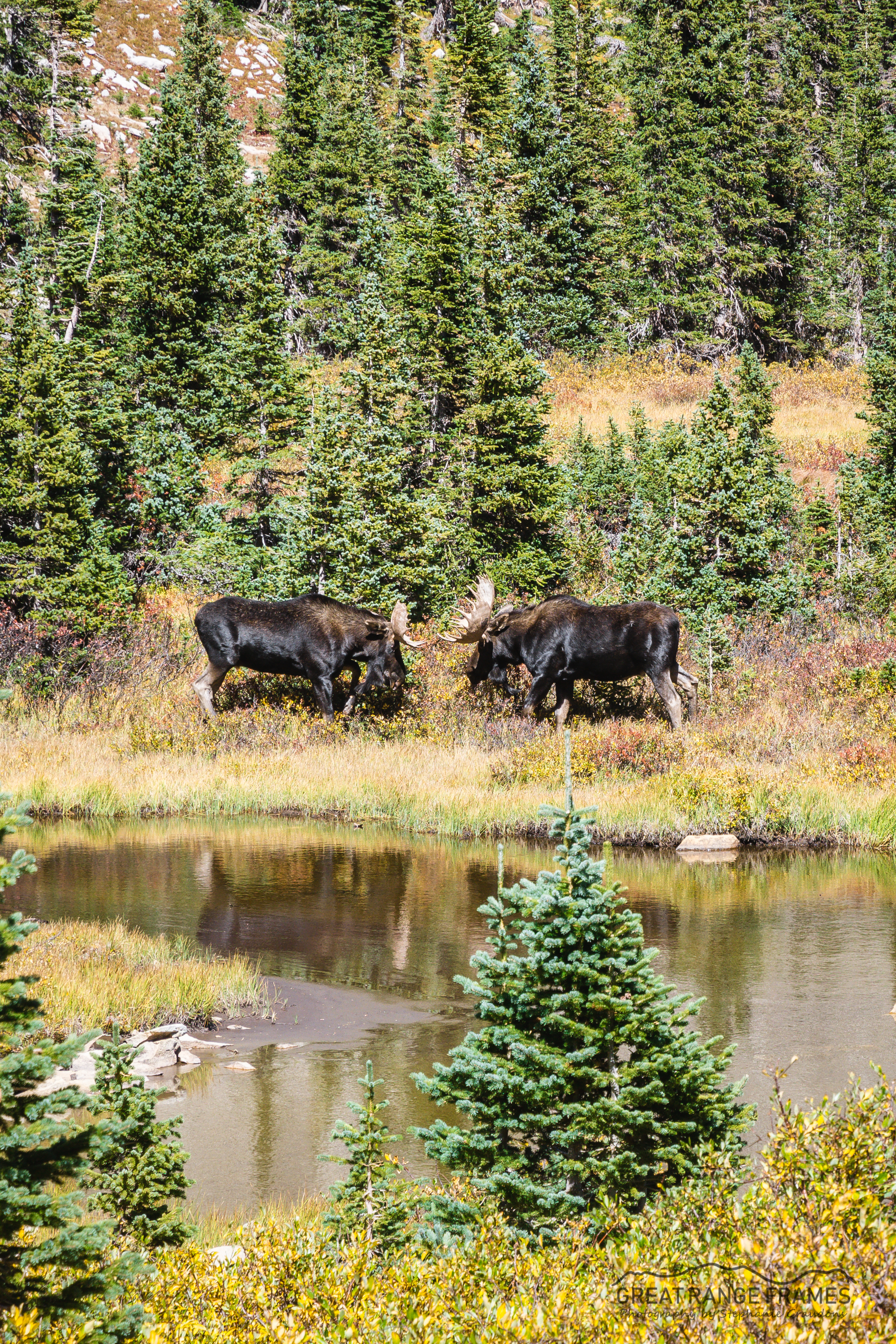 WM-Moose-Colorado2018-1331.jpg