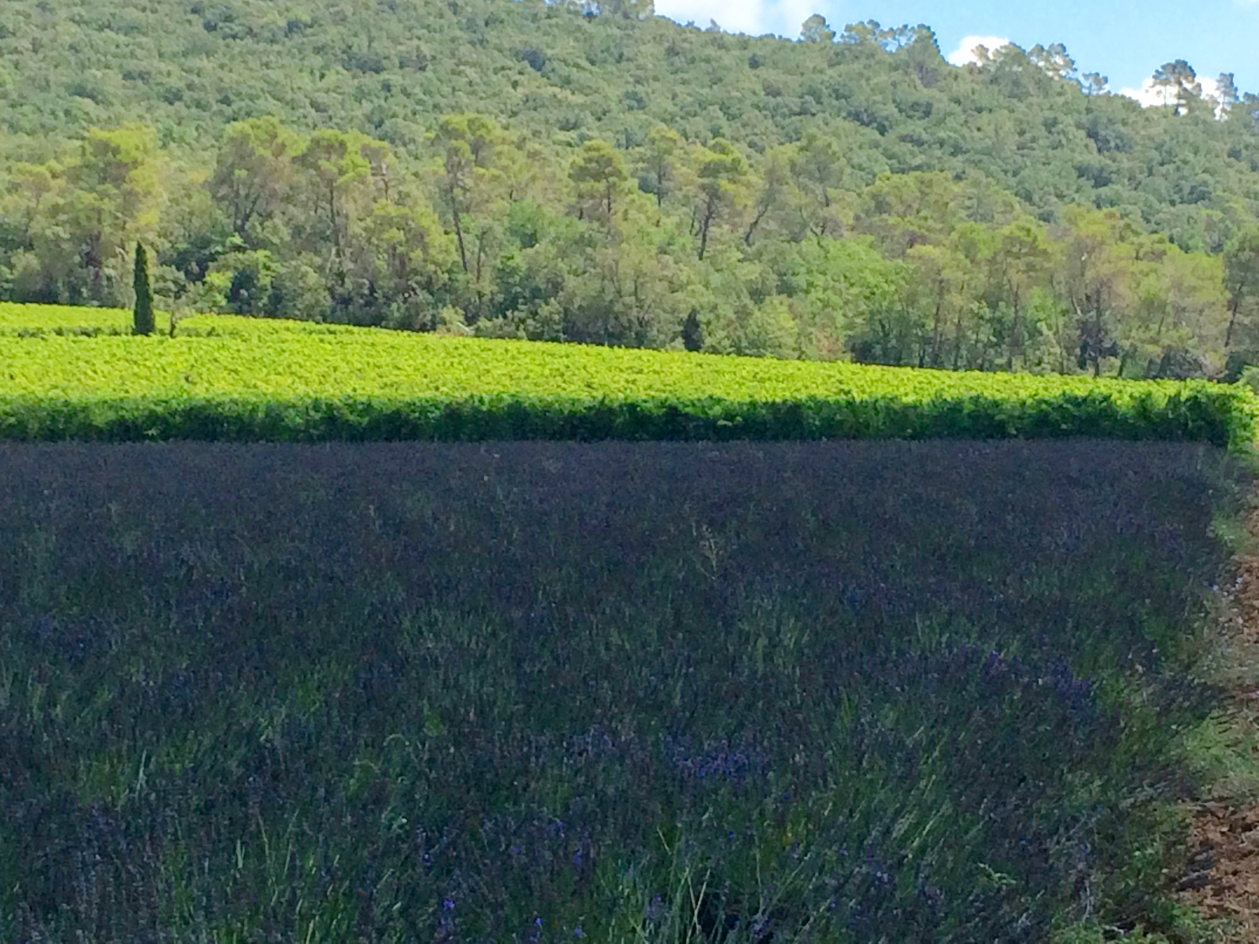Lavender at Chateau LaCalisse