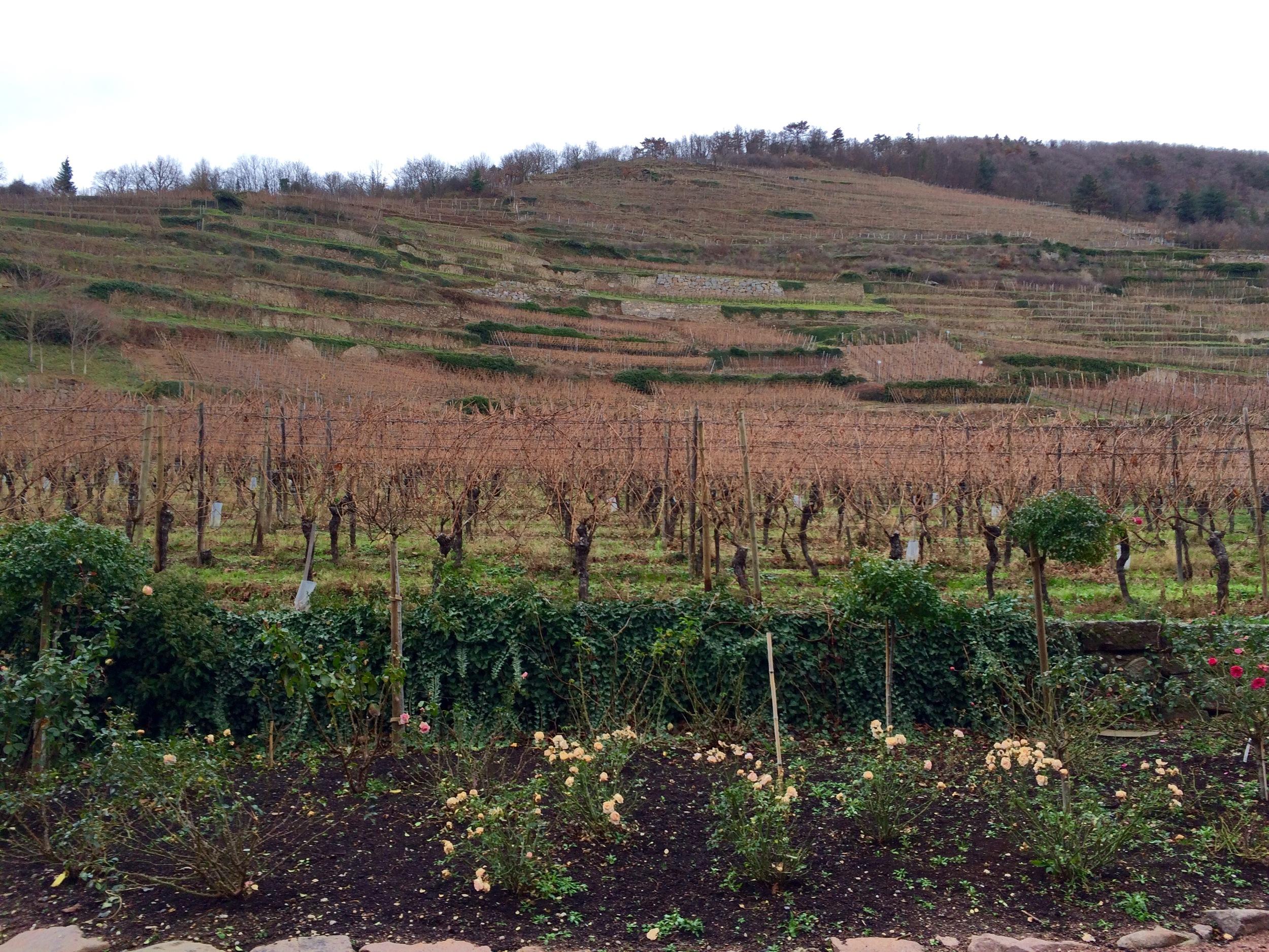 Vineyards at Kaysersberg, France