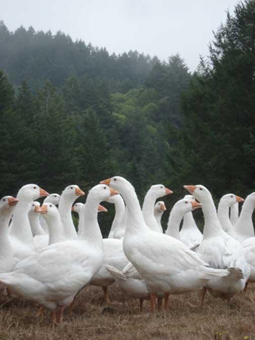 GeeseWebpageJocelyn.jpg