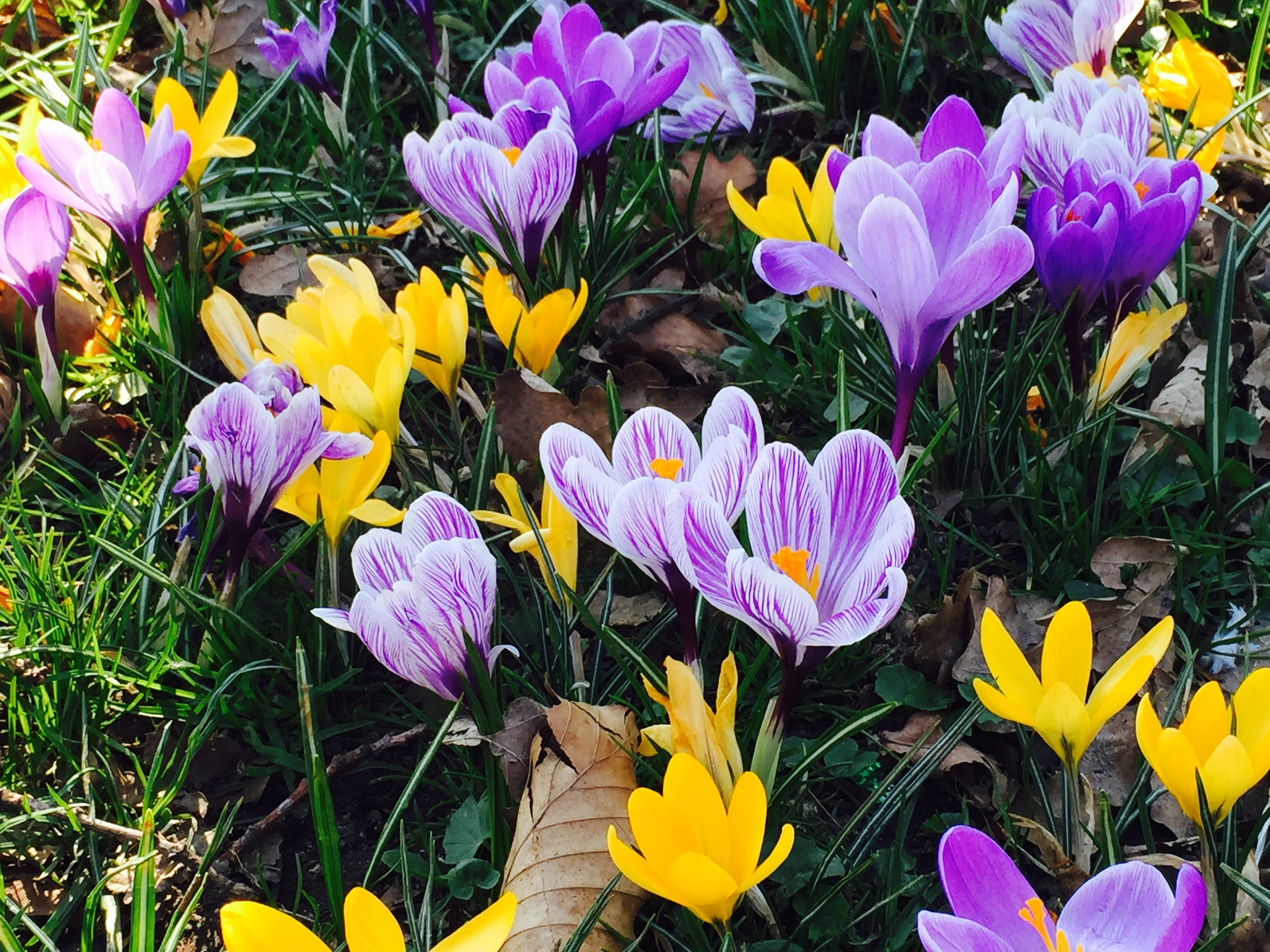 Spring_Crocuses_Free_Stock_image