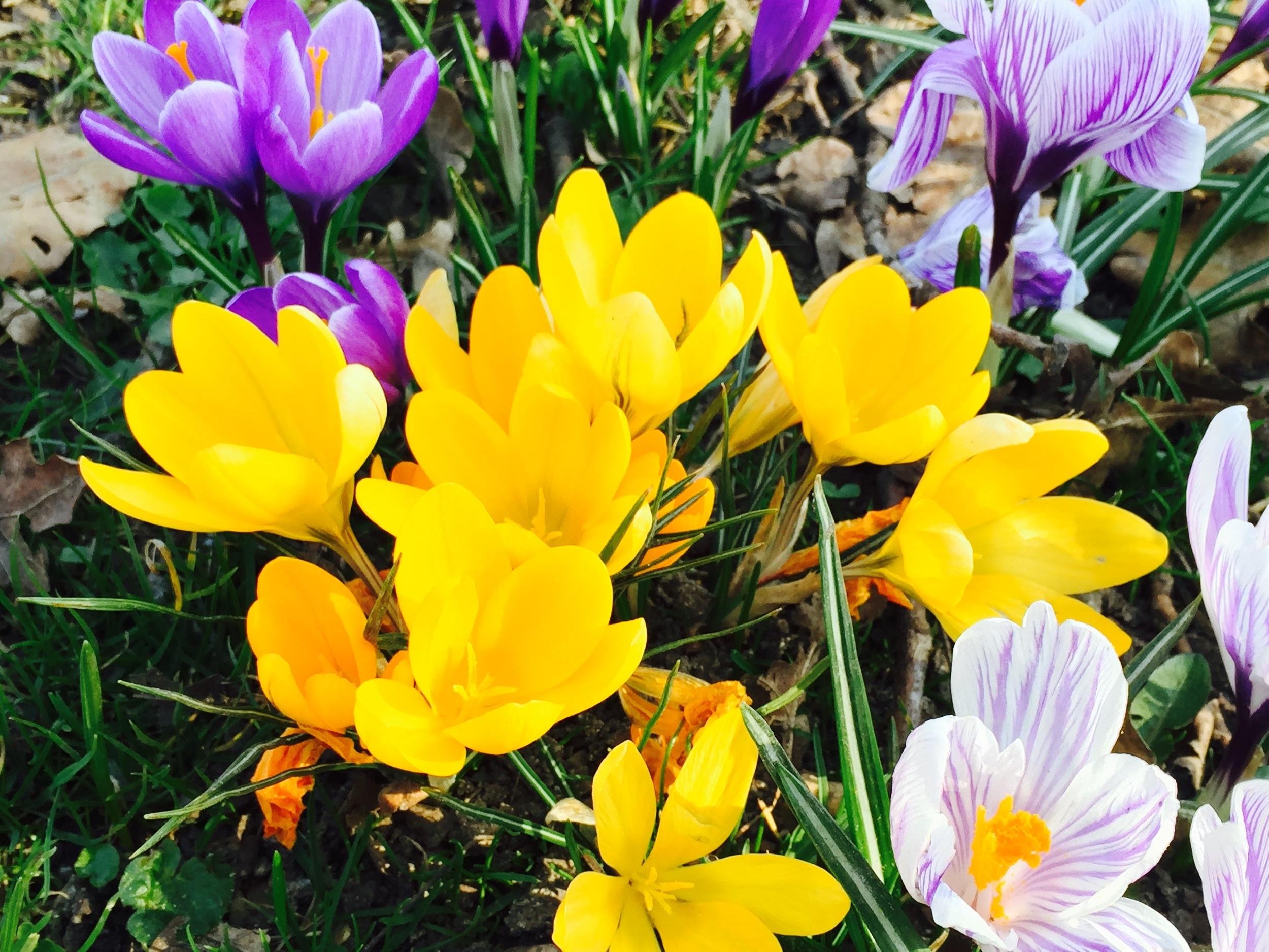 Spring_Crocuses_Free_Stock_image2