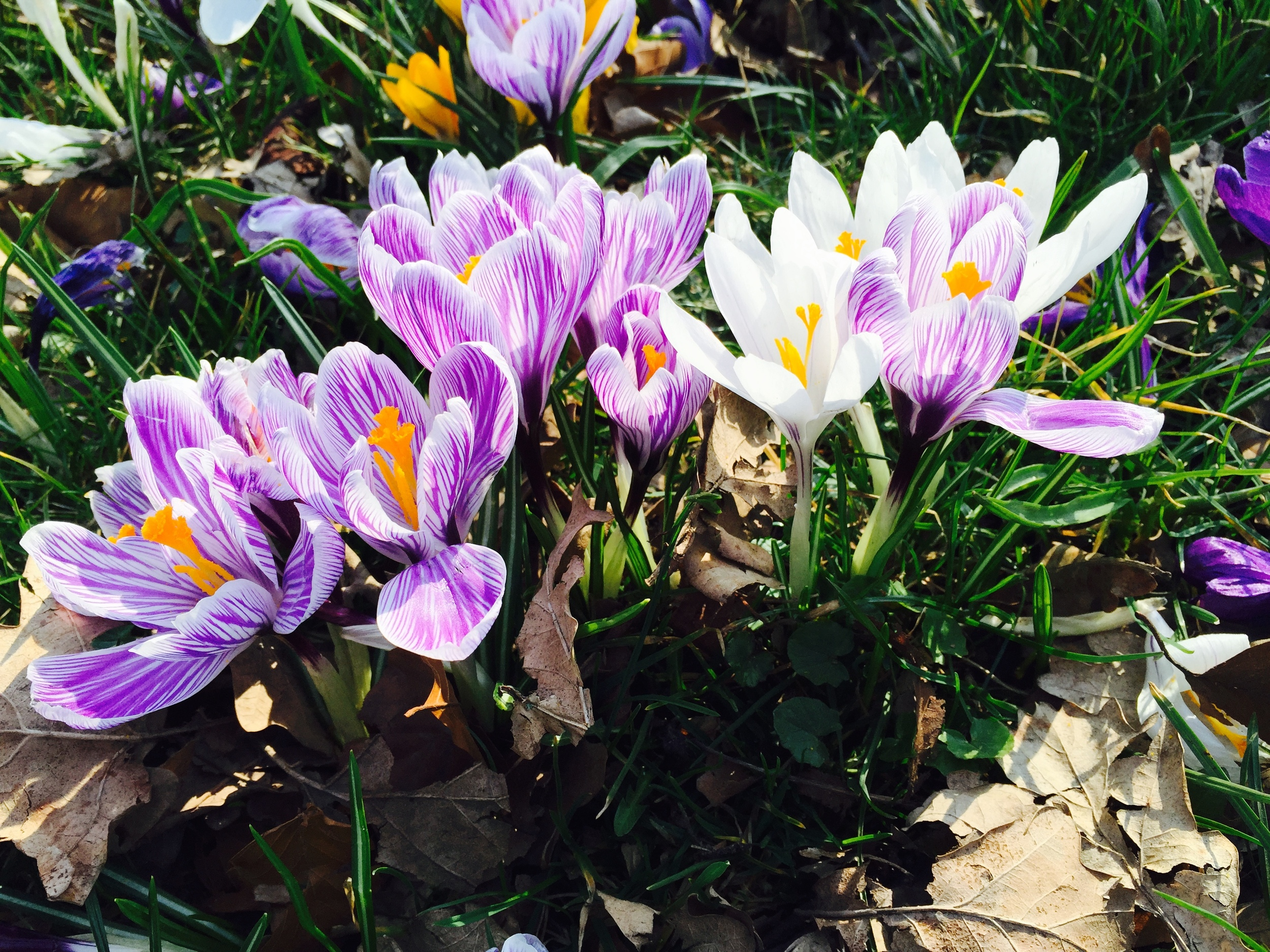 Beauty_And_Nature_Crocuses_Spring.jpg