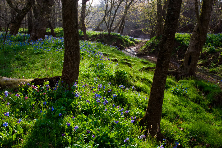 """Springtime"" - Blooming Virginia bluebells and fresh spring foliage. Bull Run Regional Park, Virginia."