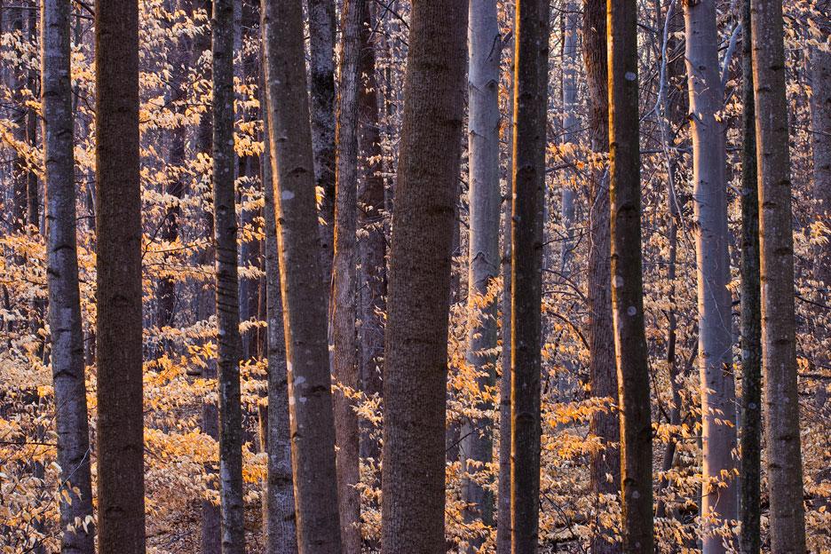 """Beech Forest at Sunset"" - The last rays of warm light kissing a winter beech forest. Scott's Run Nature Preserve, Virginia."