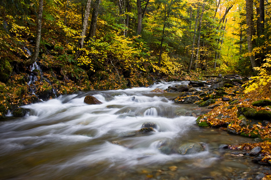"""Wonderland"" - A large stream in autumn surrounded by dark evergreens and vivid yellow beech leaves. Green Mountain National Forest, Vermont."