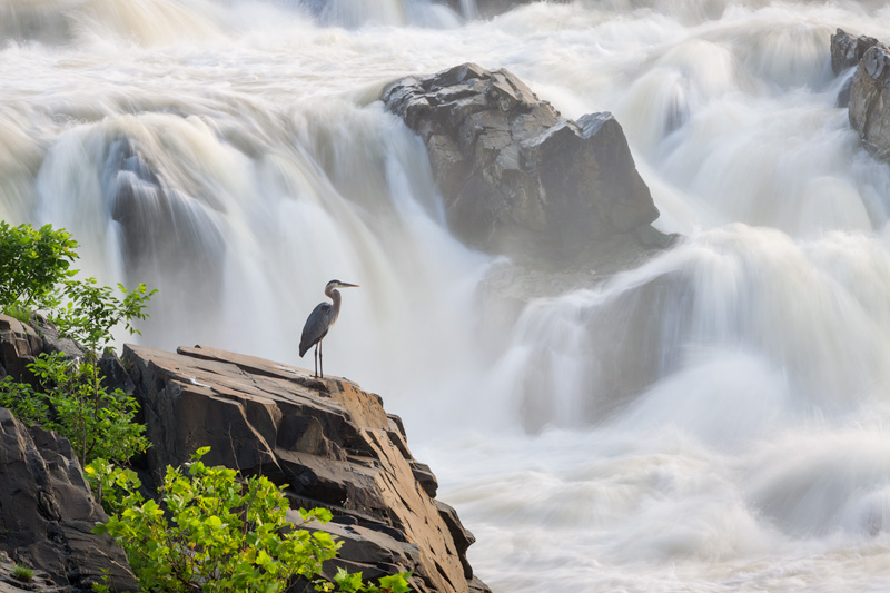 Silence In Chaos - Great Blue Heron Amid Rapids in the Potomac River, Great Falls National Park, Virginia.
