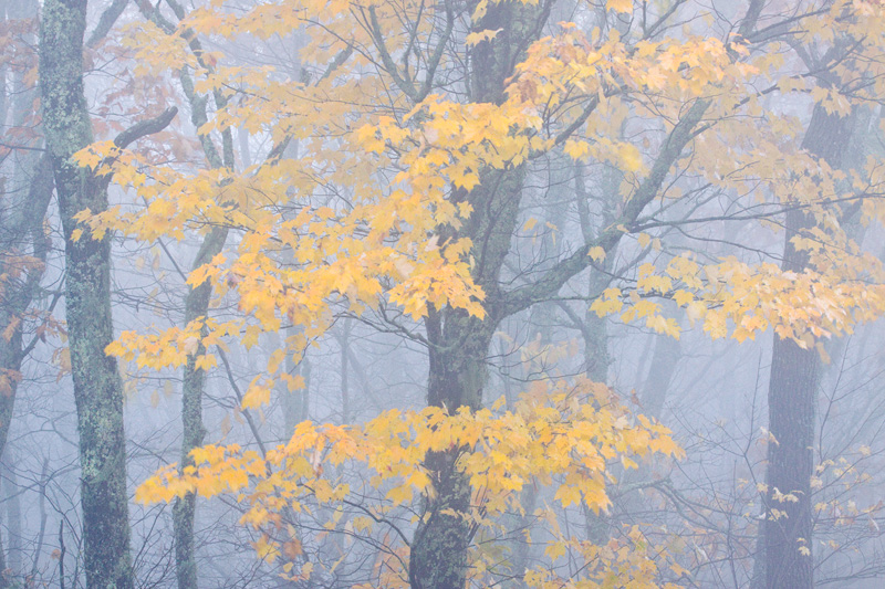 Lone Yellow Maple in Fog, Pisgah National Forest, North Carolina, United States.