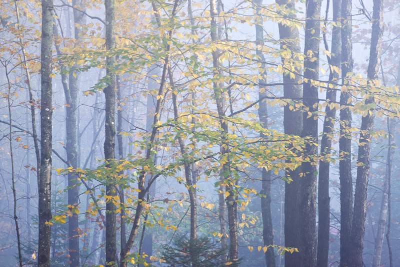 """Haunted Woods"", Autumn Forest in Fog, Northeast Kingdom, Vermont, United States."