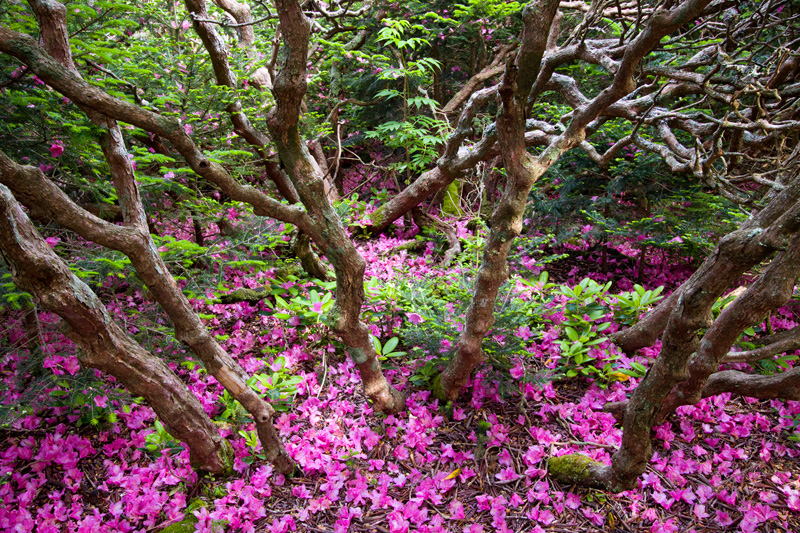 Rhododendron Past Bloom, Roan Mountain, North Carolina, United States.