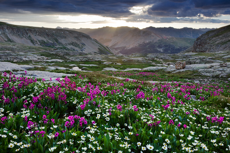 Flowers in the San Juan Mountains, Colorado, United States.
