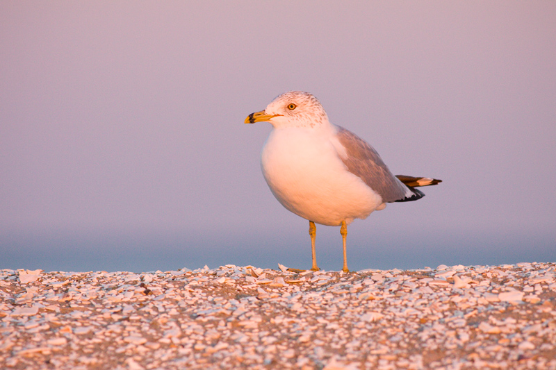 Ring-billed Gull (Larus delawarensis) Catching the Last Rays of Light, Chincoteague National Wildlife Refuge, Virginia, United States.