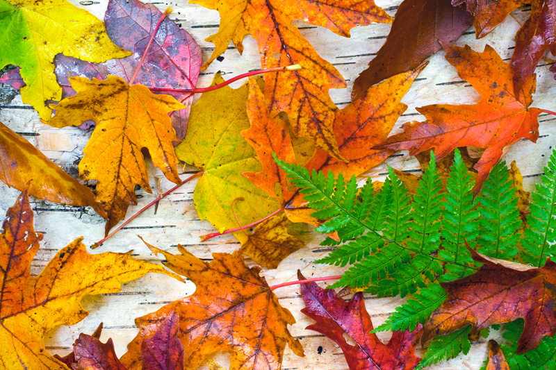 Autumn Leaves on Birch Bark, Adirondack State Park, New York, United States.