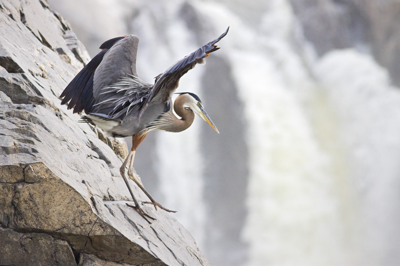 Great Blue Heron Walking Down Cliff Face, Great Falls National Park, Virginia, United States.