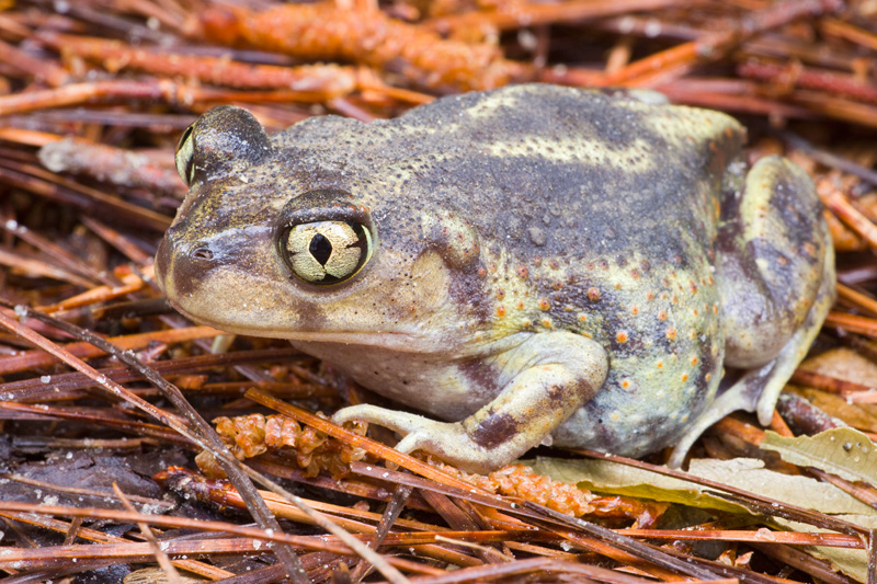 Eastern Spadefoot Toad (Scaphiopus holbrookii) Standing on some Pine Needles, Croatan National Forest, North Carolina, United States.