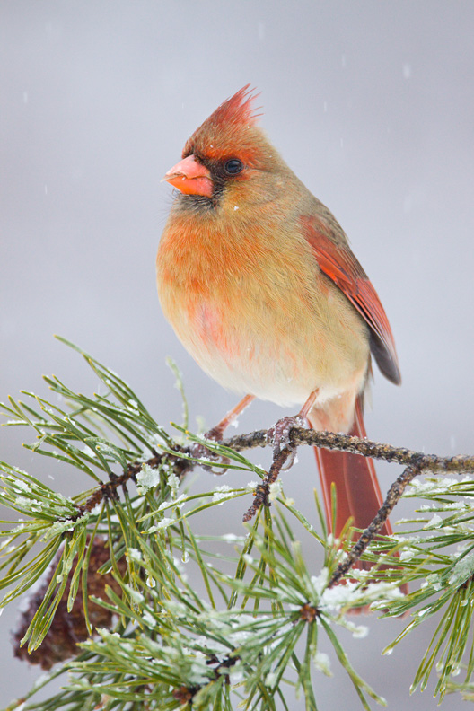 Adult Female Northern Cardinal on a Pine Branch during a Snow Storm, Bull Run Mountain Nature Preserve, Virginia, United States.