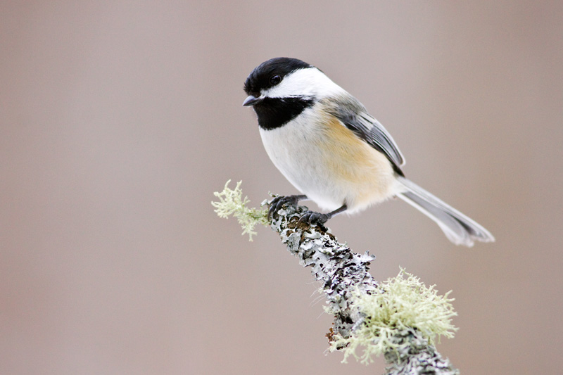 Black-capped Chickadee (Poecile atricapillus) Perched on a Branch Covered in Lichen in Upstate New York, United States.