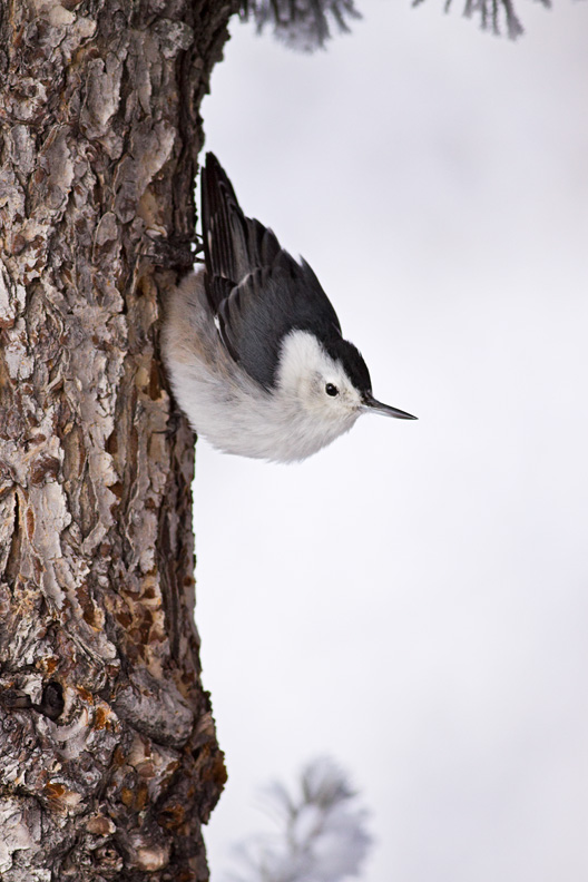 Adult White-breasted Nuthatch Clinging to a Tree Trunk in Winter, Sandia Crest, Cibola National Forest, New Mexico, United States.