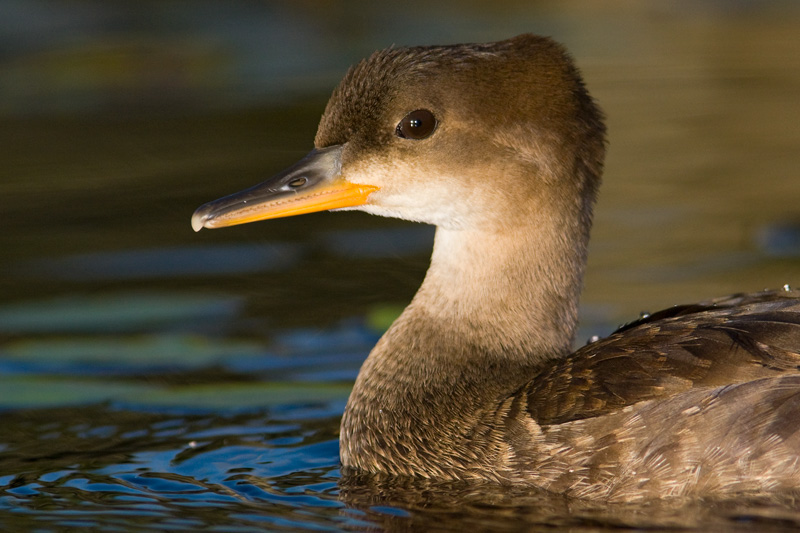 Juvenile Hooded Merganser Portrait While Swimming in a Beaver Pond, Upstate New York, United States.