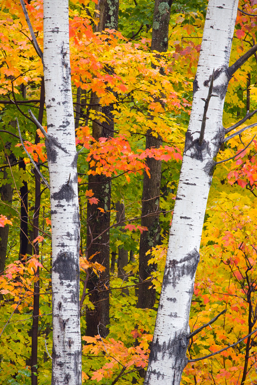 A Pair of Birch Tree Trunks Against Colorful Maple Trees in Autumn, Green Mountain National Forest, Vermont, United States.