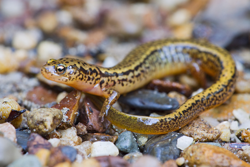 Adult Northern Two-lined Salamander, Monongahela National Forest, West Virginia, United States.