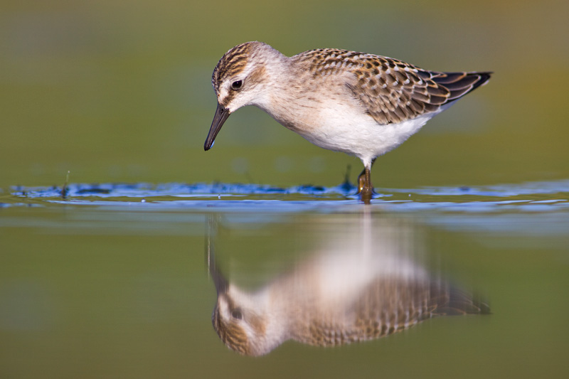 Adult Semipalmated Sandpiper in Breeding Plumage Foraging in Green Water with Full Reflection, Conneaut, Ohio, United States.