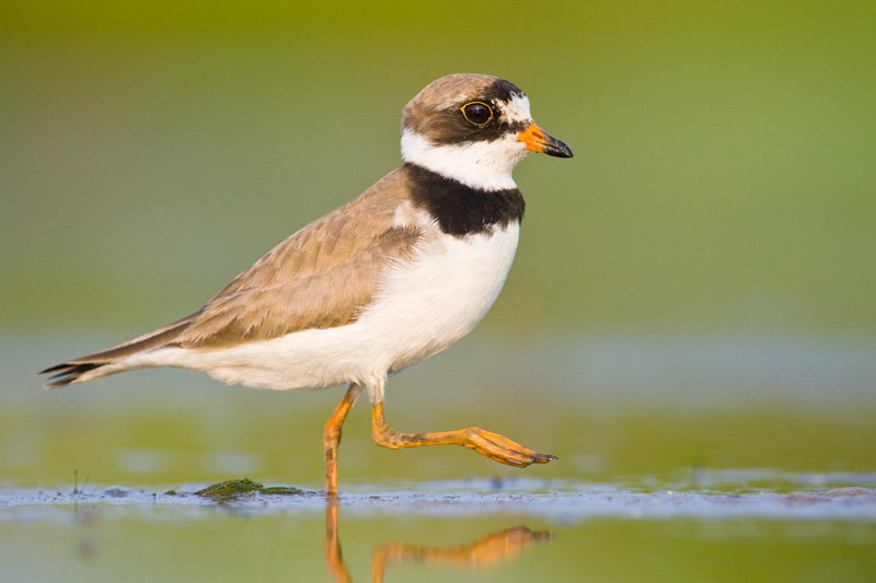 Adult Semipalmated Plover (Charadrius semipalmatus) in Breeding Plumage Walking Through Green Water, Conneaut, Ohio, United States.