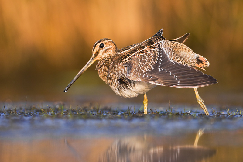 Adult Wilson's Snipe (Gallinago delicata) Wingstretch, Ohio, United States.