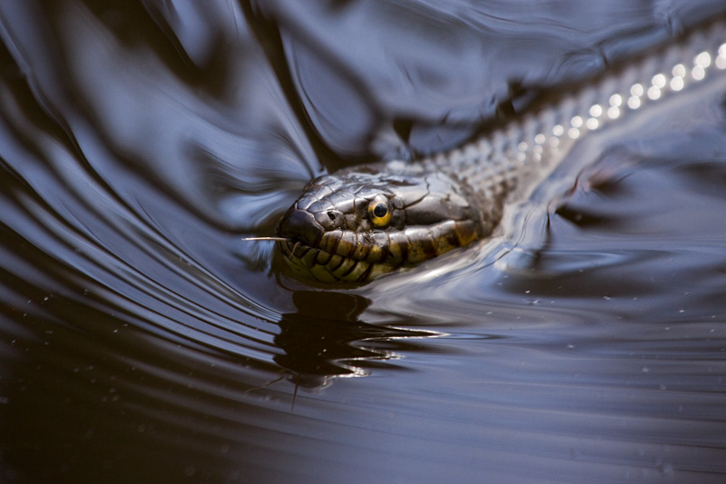 A Portrait of an Adult Northern Watersnake (Nerodia sipedon) Swimming in Water, Upstate New York, United States.