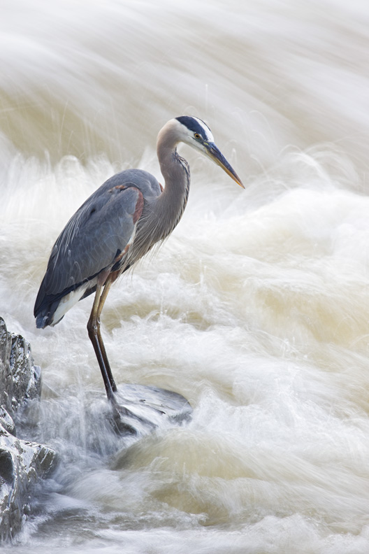 Adult Great Blue Heron with Rushing Water at it's Feet, Great Falls National Park, Virgina, United States.