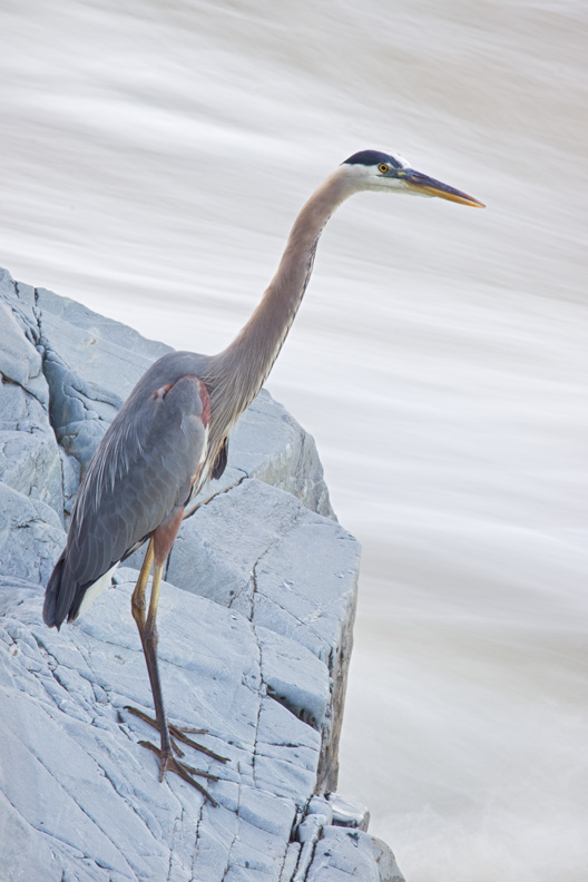 Adult Great Blue Heron Standing on a Rock with Rushing Water in the Background, Great Falls National Park, Virginia, United States.