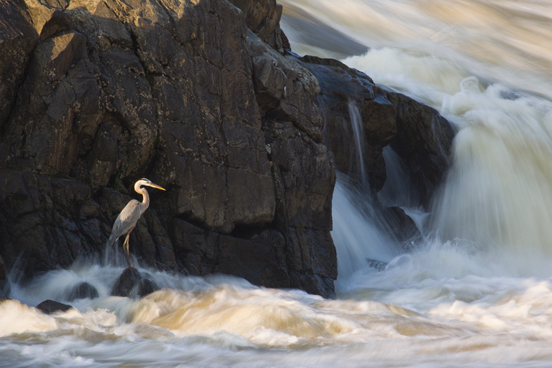 Adult Great Blue Heron spotlighted by sunlight while standing next to the flooded, brown Potomac River in Great Falls National Park, Virginia, United States.