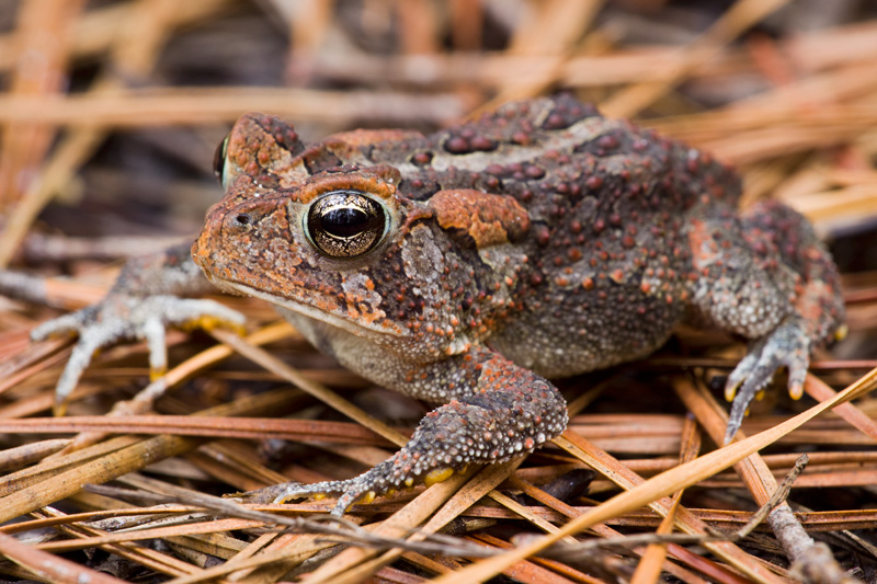 Adult Southern Toad (Bufo terrestris) standing on pine needles, Francis Marion National Forest, South Carolina, United States.