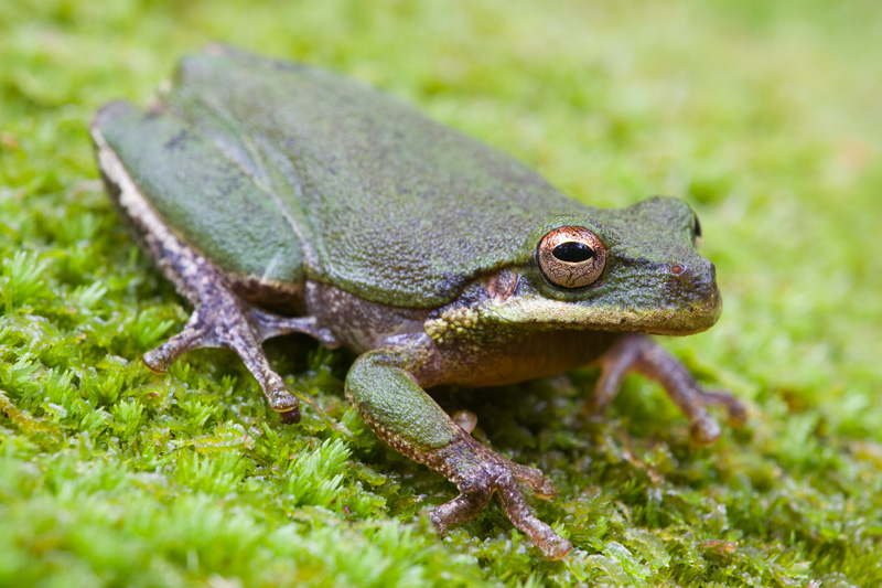 Adult Squirrel Treefrog (Hyla squirella) sitting on green moss, Francis Marion National Forest, South Carolina, United States.