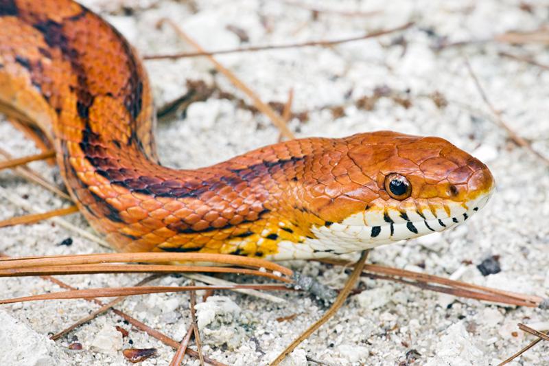 Corn Snake (Elaphe guttata) portrait on sand, Francis Marion National Forest, South Carolina, USA.