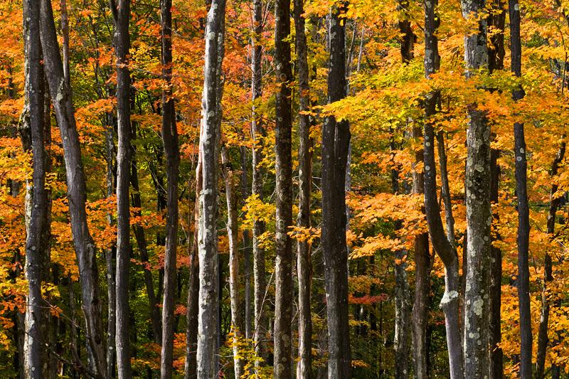 Monongahela National Forest Trees Sidelit in Autumn, West Virginia, United States.