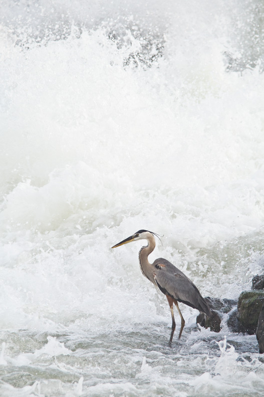 Great Blue Heron Fishing in Whitewater Rapids, Great Falls National Park, Maryland / Virginia, United States.