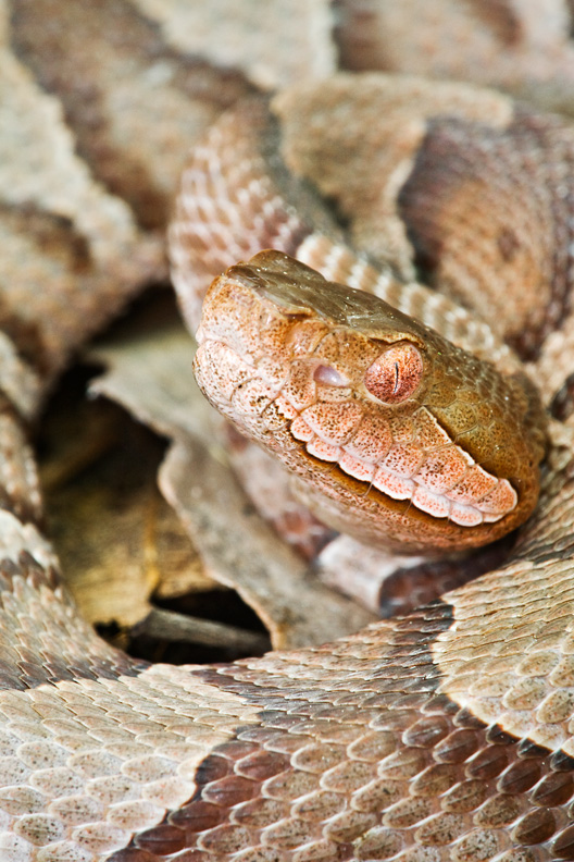 Adult Copperhead Coiled Up, Shenandoah National Park, Virginia, United States.