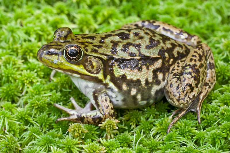 Adult Female Green Frog on Moss, Upstate New York, United States.