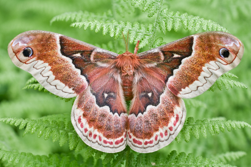 Promethea Moth on Ferns, Upstate New York, United States.