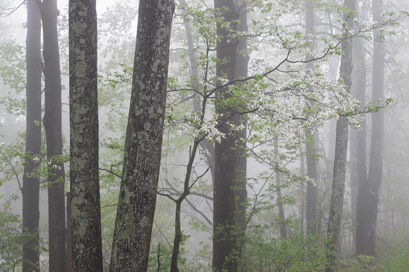 Spring Forest Foliage and Flowering Dogwood Trees in Fog, Shenandoah National Park, Virginia, United States.