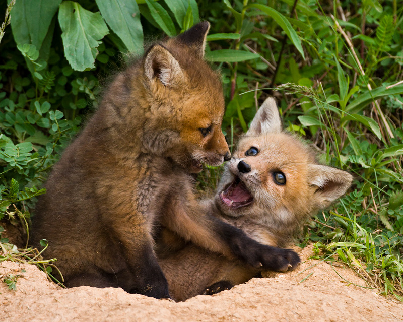 Baby Red Fox Kits Playing Near Their Den, Delaware, United States.