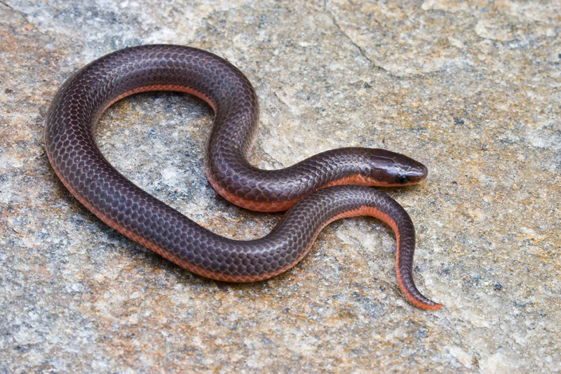 Eastern Worm Snake Coiled Up on a Rock, Virginia, United States.