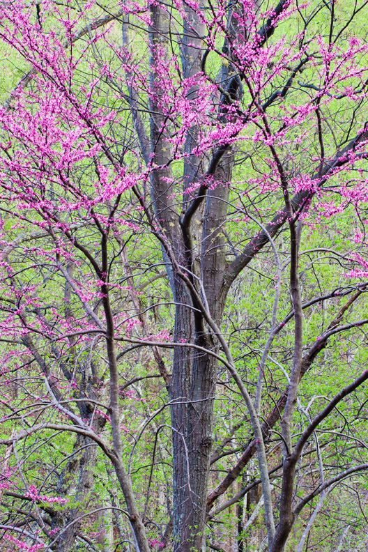 Eastern Redbud, Shenandoah National Park, Virginia, United States.