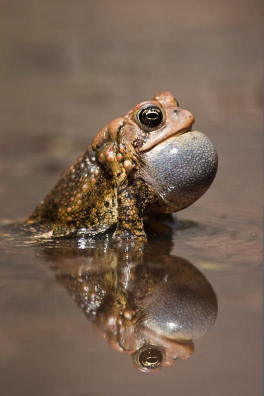 American Toad Calling, Bull Run Regional Park, Virginia, United States.