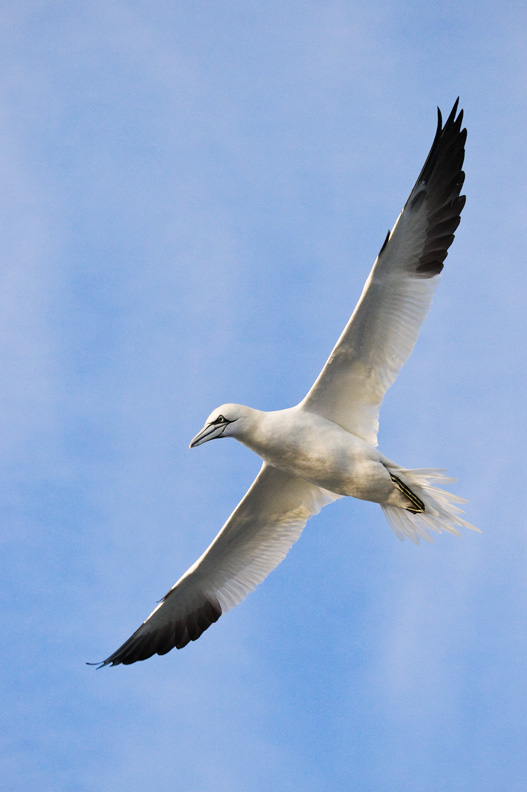 Northern Gannet Soaring in Front of Clouds, Delaware Bay, United States.